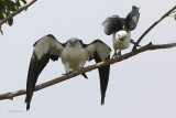 Swallow-tailed Kites