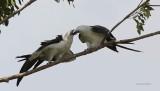 Swallow-tailed Kites Chick Feeding