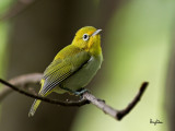 Lowland White-eye (Zosterops meyeni, a near Philippine endemic)   Habitat - Second growth, scrub and gardens.   Shooting info - Bacnotan, La Union, Philippines, July 22, 2012, Canon 1D MIV + 400 2.8 IS + Canon 2x TC II,  800 mm, f/5.6, ISO 1600, 1/320 sec, 475B/516 support, manual exposure in available light, near full frame.