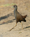 Plain Bush-Hen  (a near Philippine endemic)   Scientific name - Amaurornis olivaceus   Habitat - Drier grasslands and scrub.   [Sigma 300-800 DG]