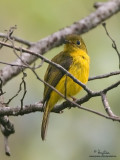 Citrine Canary-Flycatcher  Scientific name - Culicicapa helianthea  Habitat - Understory usually in montane forest.  [20D + 500 f/4 L IS + Canon 1.4x TC, hand held supported by car window]