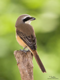 Brown Shrike   Scientific name - Lanius cristatus   Habitat - Common in all habitats at all elevations.   [40D + Sigmonster + Sigma 1.4x TC, MF via Live View, manual exposure, 475B tripod/3421 gimbal head]