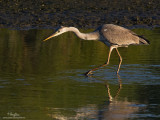 Grey Heron   Scientific name - Ardea cinerea   Habitat - Uncommon in wetlands.  [40D + 500 f4 L IS + Canon 1.4x TC, bean bag]