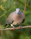 Island Collared-Dove 