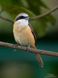 Brown Shrike   Scientific name - Lanius cristatus   Habitat - Common in all habitats at all elevations.   [40D + 500f/4 L IS + Canon 1.4x, 475B/3421 support]