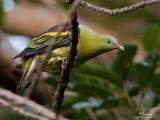 Pompadour Green-Pigeon   Scientific name - Treron pompadora   Habitat - Uncommon in forest and forest patches up tp at least 1000 m.   [40D + 500 f4 L IS + Canon 1.4x TC, 475B/3421 support]