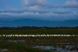 EGRETSCAPE. When the sun went below the horizon, most egrets have gone back to their roosting trees to spend the night.  But not this mixed egret flock... looks like this group of white birds decided to stay on a ricefield till the next morning.   [40D + 100-400 IS, hand held, resized full frame]