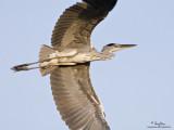 Grey Heron   Scientific name - Ardea cinerea   Habitat - Uncommon in wetlands.   [1DM2 + 500 f4 L IS + Canon 1.4x TC, 475B/3421 support]