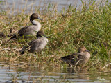 Northern Pintail (two males and a female) 