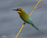 Blue-tailed Bee-eater   Scientific name - Merops philippinus   Habitat - Open country usually associated with water along rivers, marshes and ricefields.   [40D + 500 f4 IS + Canon 1.4x TC, bean bag]