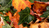 ivy and maple leaves.jpg