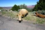 Going to La Sal mountains-wildlife