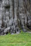 REALLY BIG TREE