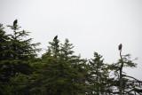 Bald Eagles near Sitka