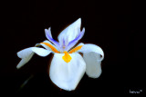 African Iris, Dietes iridiodes