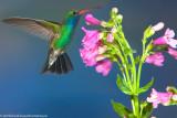 Of Humming Birds