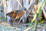 Virginia Rail, Râle de Virginie ( Rallus limicola)