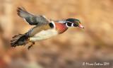 Wood-duck, Canard branchu (Aix sponsa)