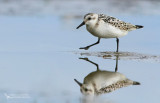 Sanderling ( Calidris alba )
