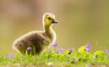Canada Goose (Branta canadensis) baby