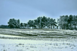 The little Pine Forest