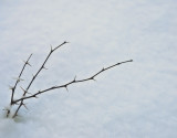 The Tiny Thornbush