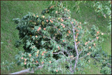 Fruit gardens at Khaplu Fort.jpg