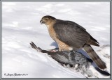 Épervier de Cooper ( Cooper's Hawk )