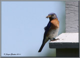 Merlebleu de l'est ( Eastern Bluebird )