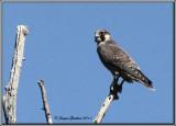 Faucon pèlerin ( Peregrine Falcon )