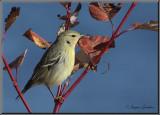Paruline rayée ( Blackpoll Warbler )