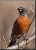 Merle d'Amérique ( American Robin )