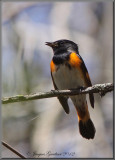 Paruline flamboyante (American Redstart )