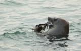 Grijze Zeehond/Gray Seal