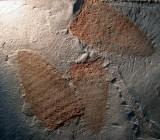 Utah Middle Cambrian Diagoniella
