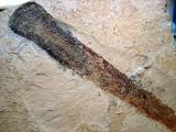 Utah Middle Cambrian Leptomita