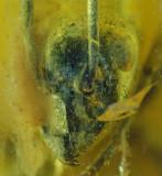 Baltic ant 12