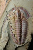 Eoredlichia intermedia, 5 cm long, Lower Cambrian, Chengjiang, China, partially dissected to show limbs and antennae.