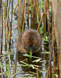 Askham water vole