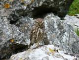 Malham Little owl