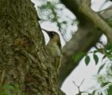 Malham green woodpecker