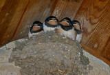 Malham swallows