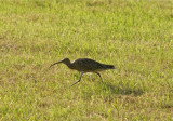 Yorkshire curlew