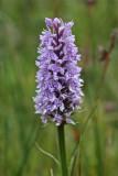 Askham Bog orchid