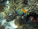 Damaniyat Emperor angelfish (Pomacanthus imperator)