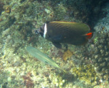Damaniyat Collared butterflyfish (Chaetodon collare)