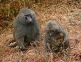 Manyara baboons