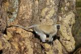Ngorongoro vervet