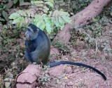 Manyara blue monkey