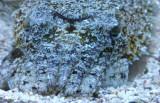 Ramses the cuttlefish